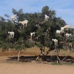 Tree Climbing Goats of Morocco