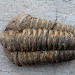 fossil-alnif