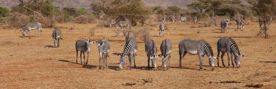 zebras safari kenya